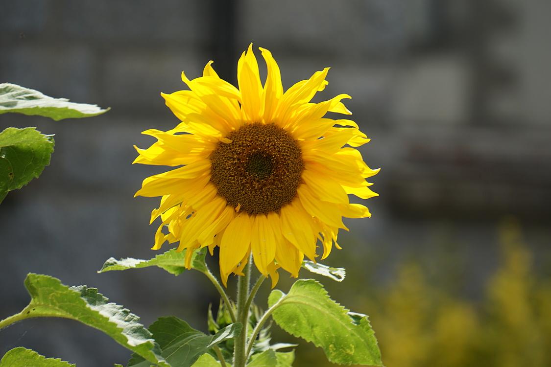 Common sunflower Yellow Sunflower seed Petal