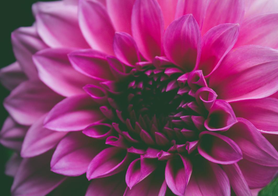 Pink,Chrysanths,Plant