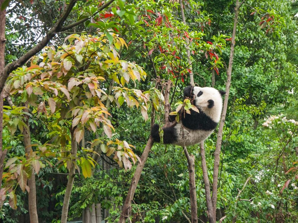 Red Panda,Biome,Plant