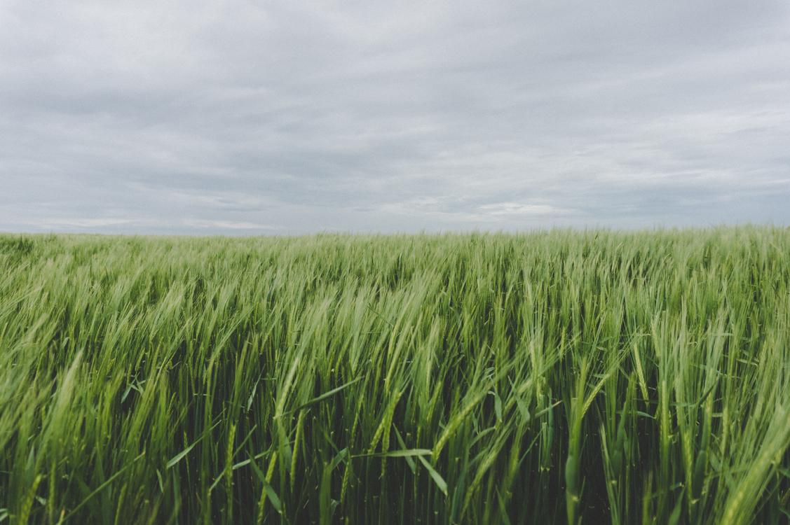 Grass Family,Wheat,Hordeum