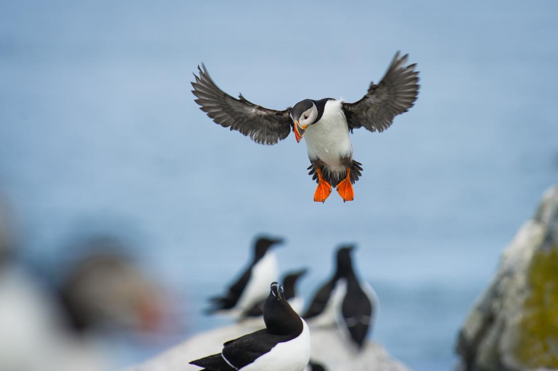 Wildlife,Water Bird,Duck