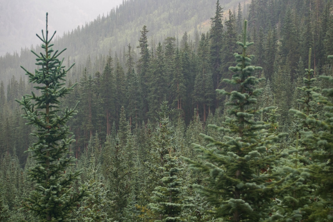 Temperate Broadleaf And Mixed Forest,Conifer,Spruce Fir Forest