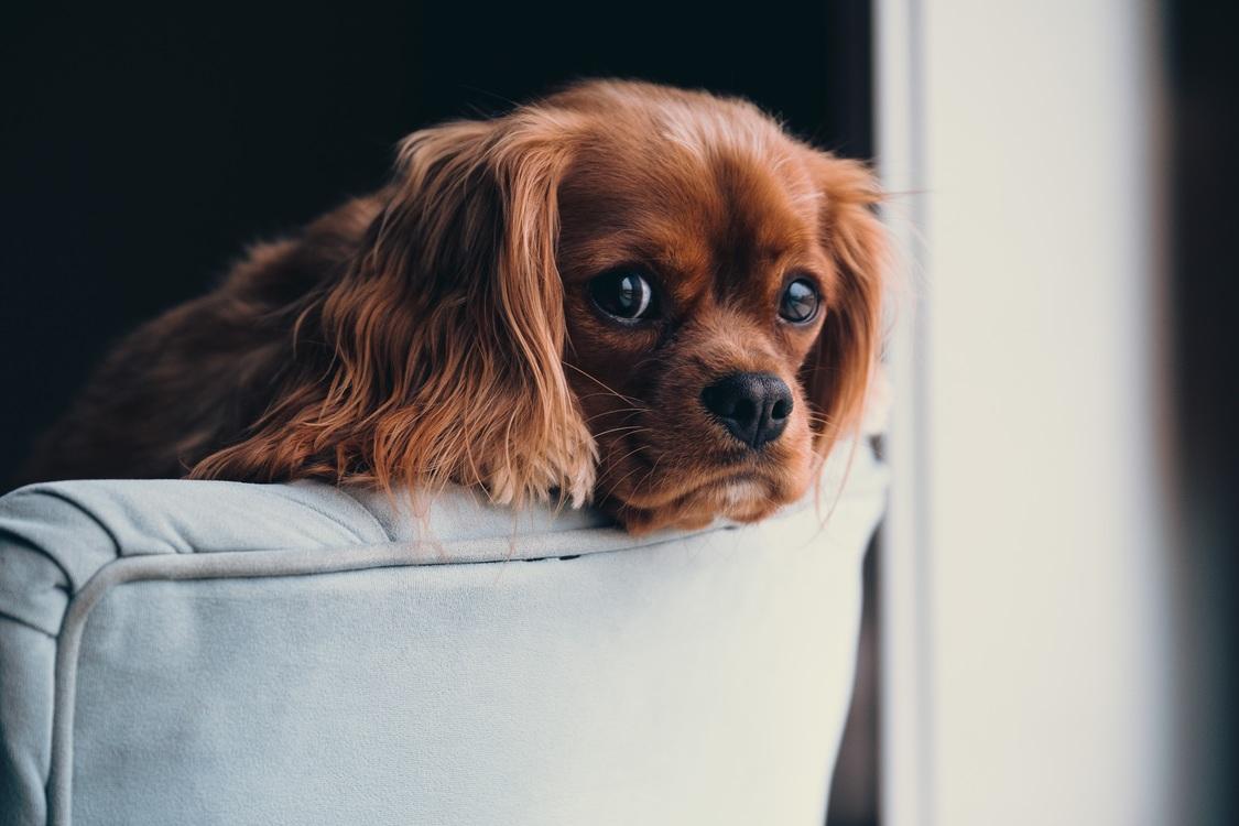 Companion Dog,King Charles Spaniel,Puppy Love