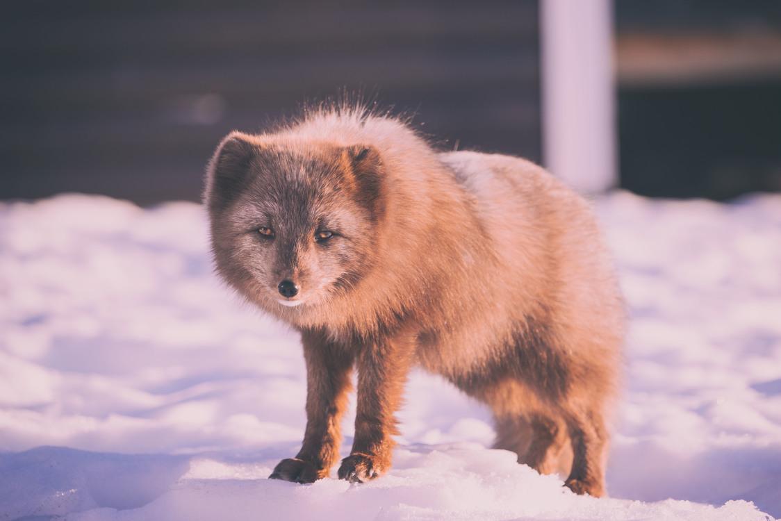 Arctic Fox,Wildlife,Fur