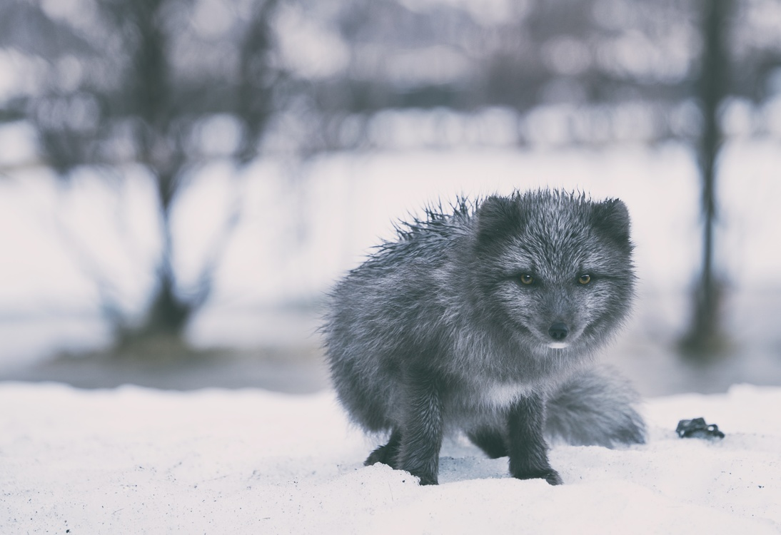 Arctic Fox,Wildlife,Monochrome