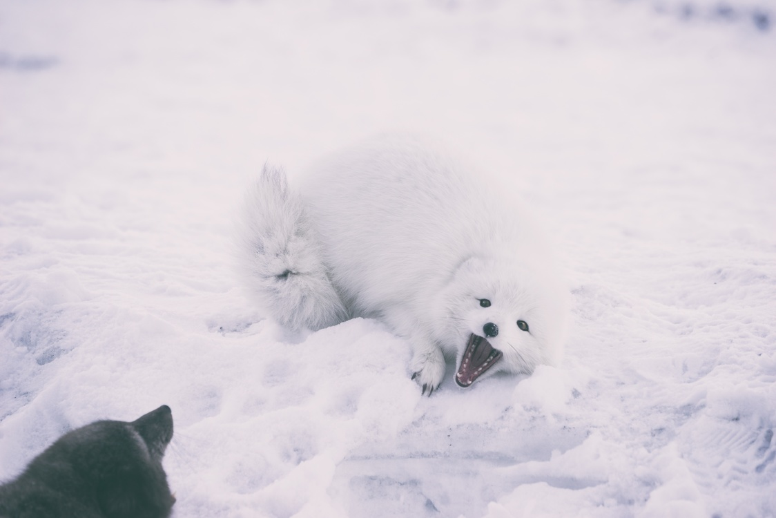 arctic fox polar bear desktop wallpaper free images download