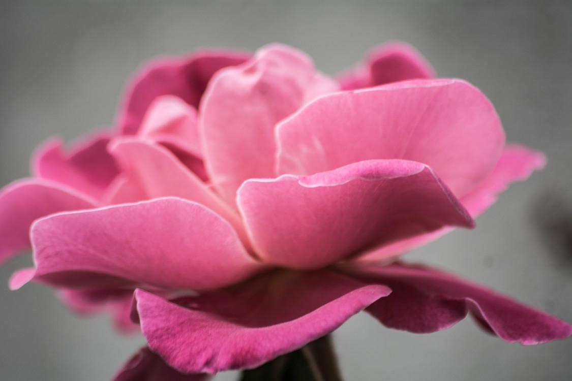 Pink,Plant,Flora