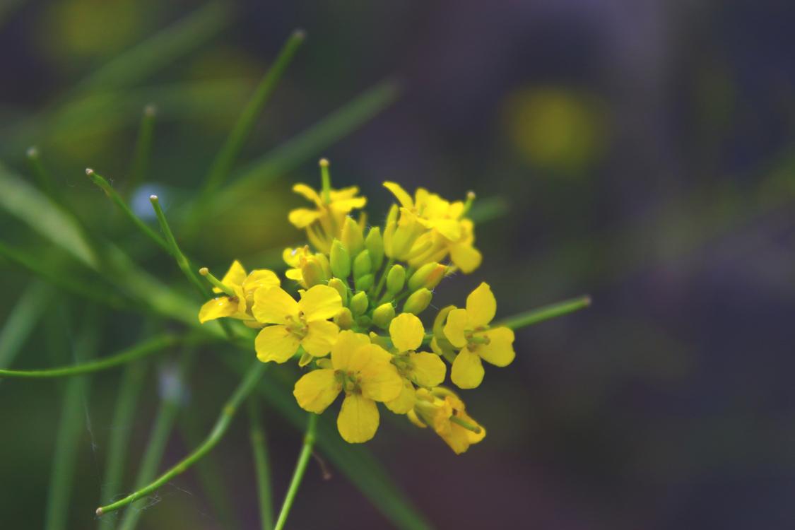 Mustard Plant,Canola,Plant