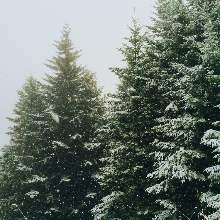 Spruce Fir Forest,Conifer,Spruce