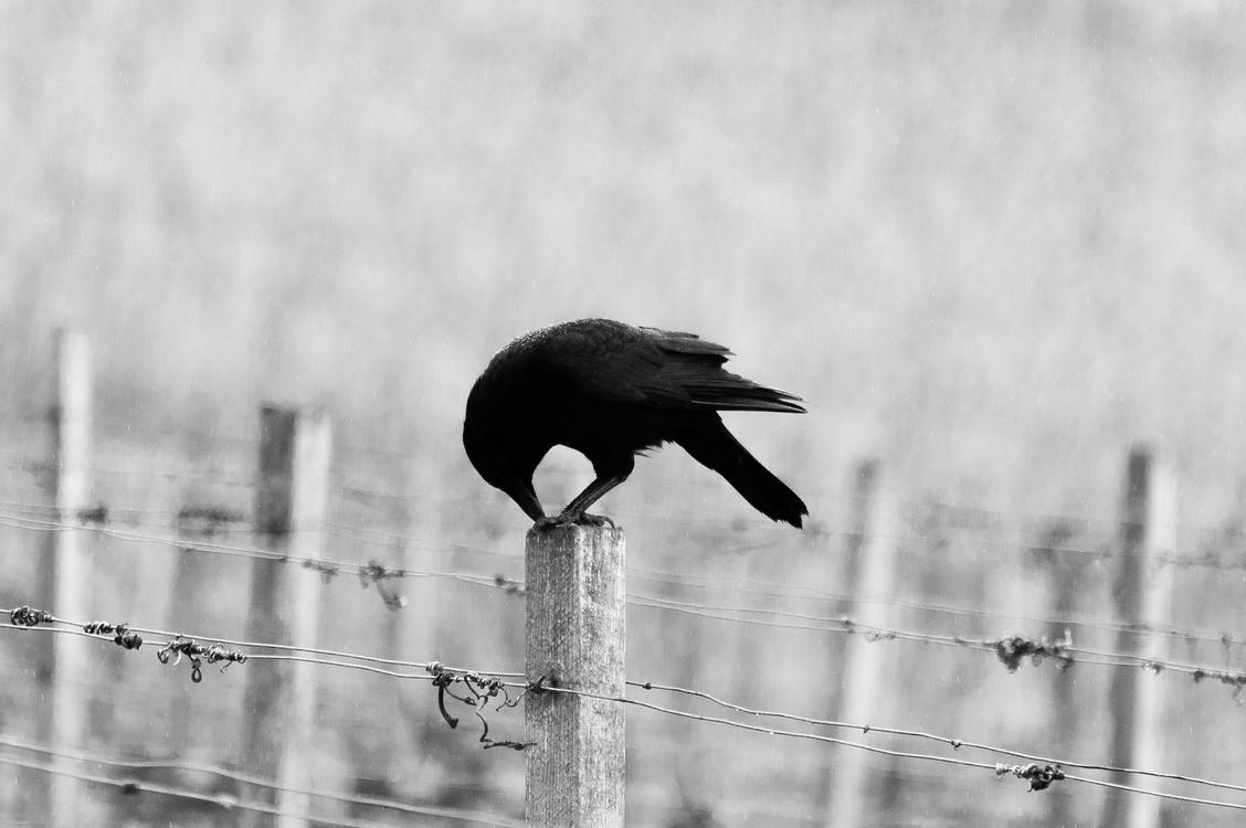 Crow Like Bird,Wildlife,Rook