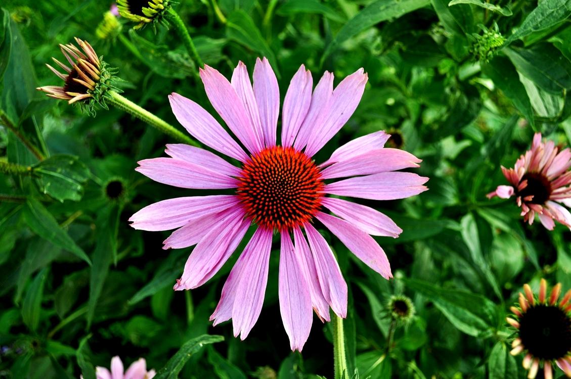 Plant,Flora,Garden Cosmos