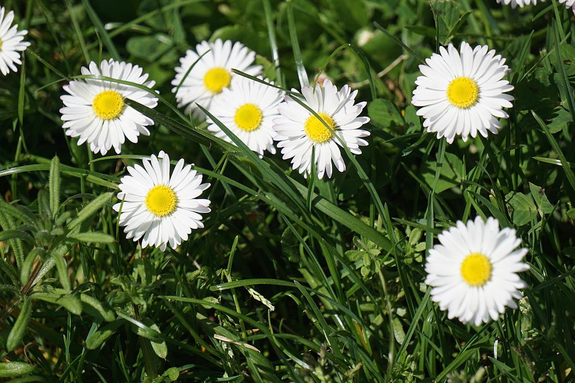 Flower garden petal lawn common daisy free images download flower flower garden petal lawn common daisy izmirmasajfo