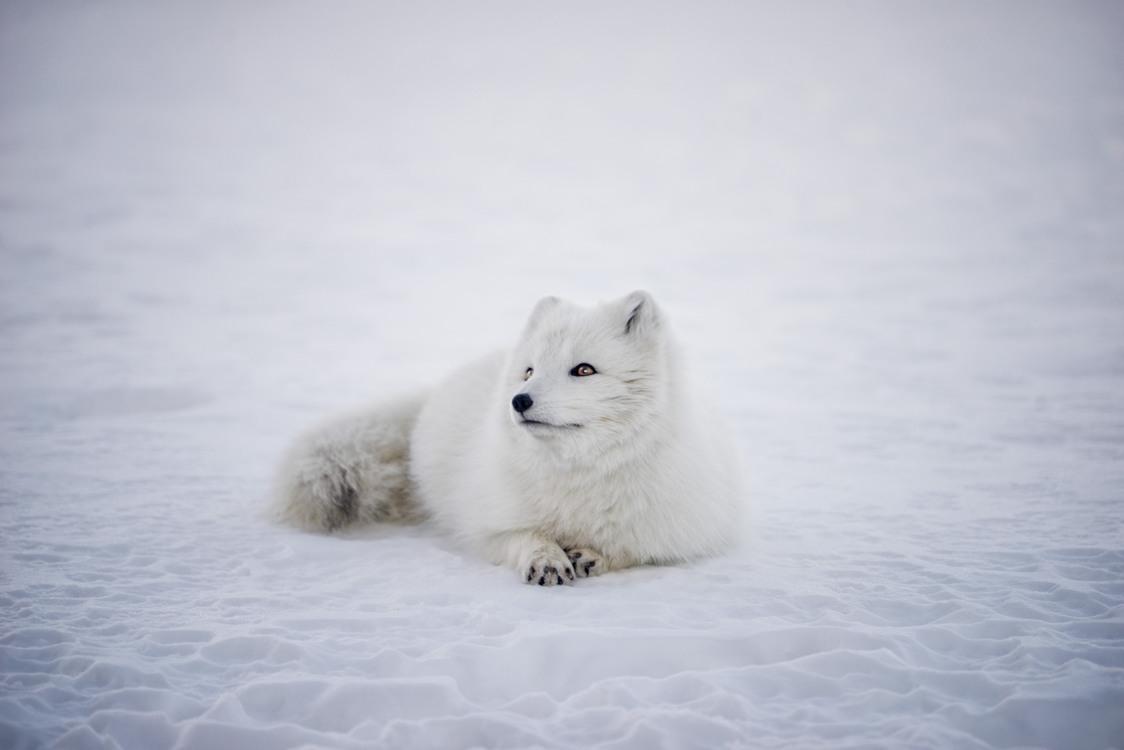 Arctic Fox,Japanese Spitz,Samoyed
