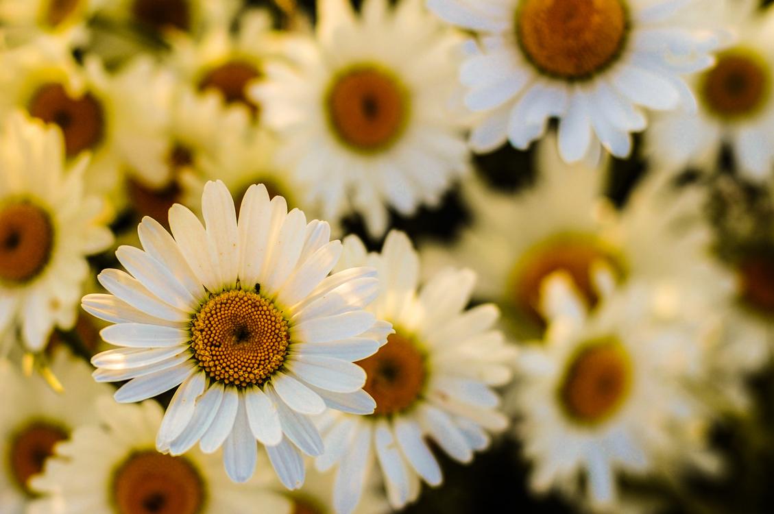 Oxeye daisy birth flower common daisy argyranthemum frutescens free oxeye daisy birth flower common daisy argyranthemum frutescens izmirmasajfo