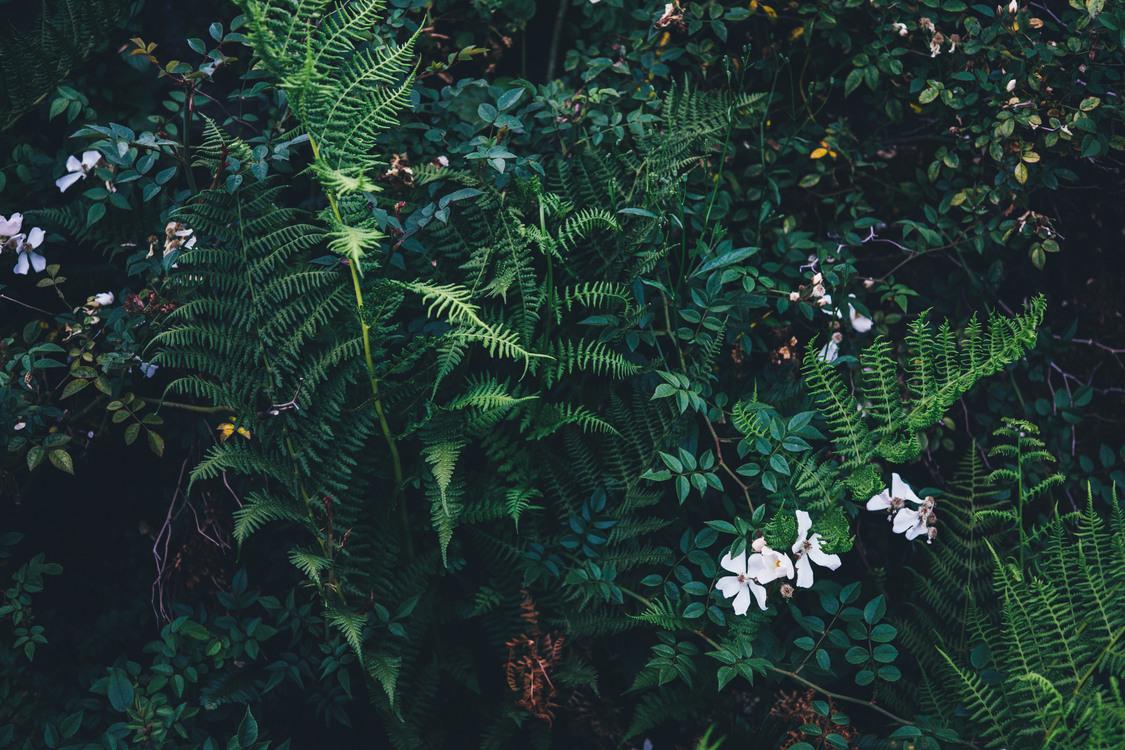 Fern,Conifer,Fir