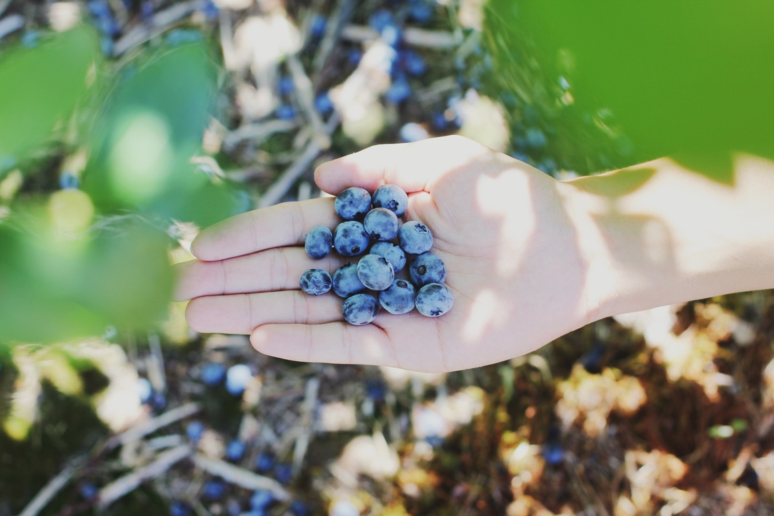Blue,Plant,Blueberry