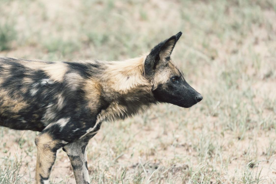 Dog Like Mammal,Wildlife,Fauna