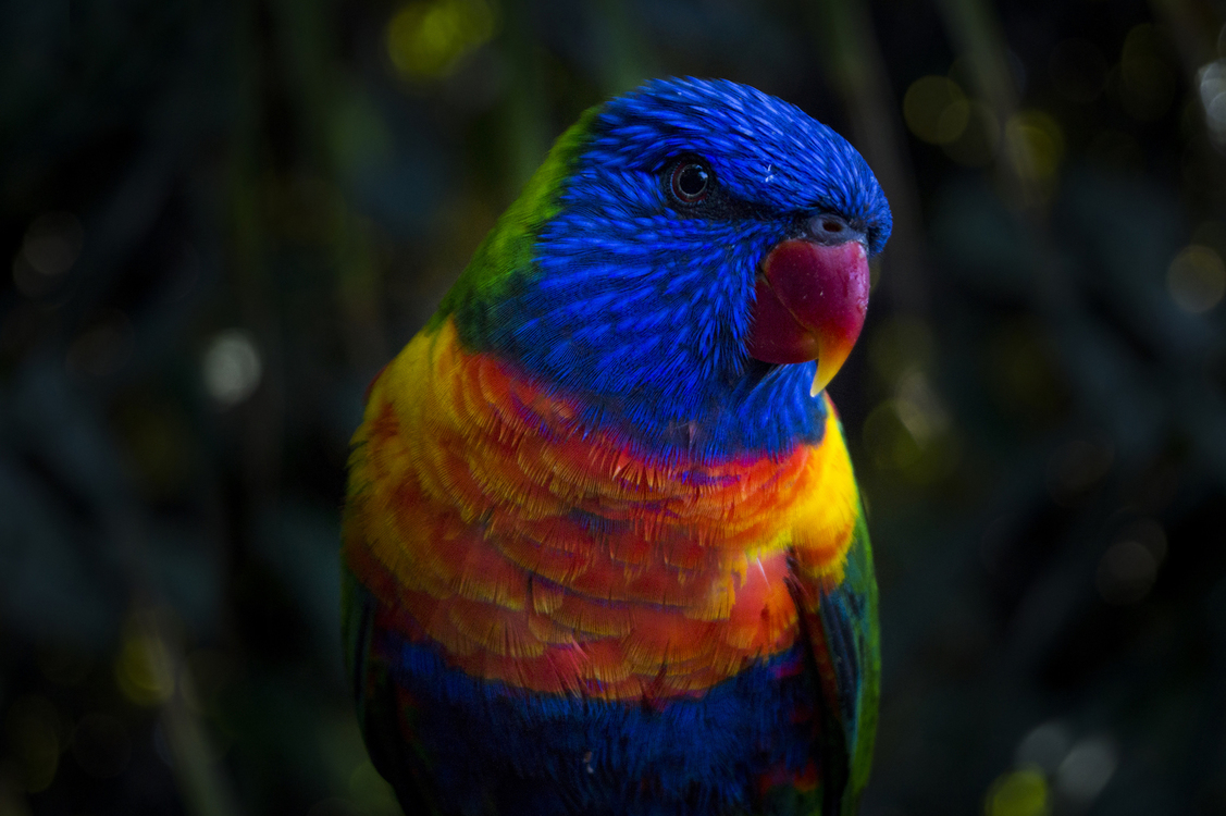 Close Up,Macaw,Parrot