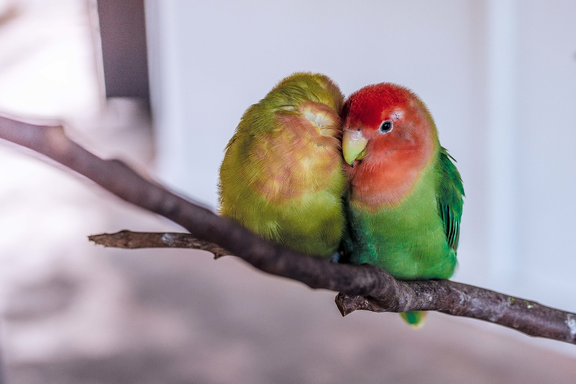 Parrot,Lorikeet,Lovebird