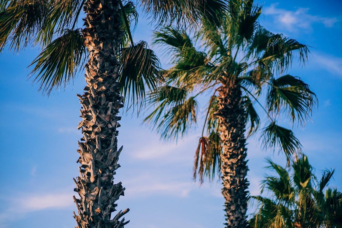 Coconut,Sky,Arecales