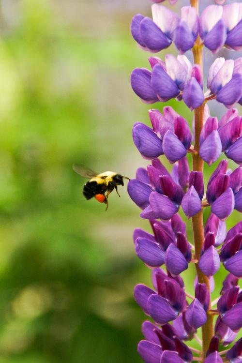 Pollen,English Lavender,Plant