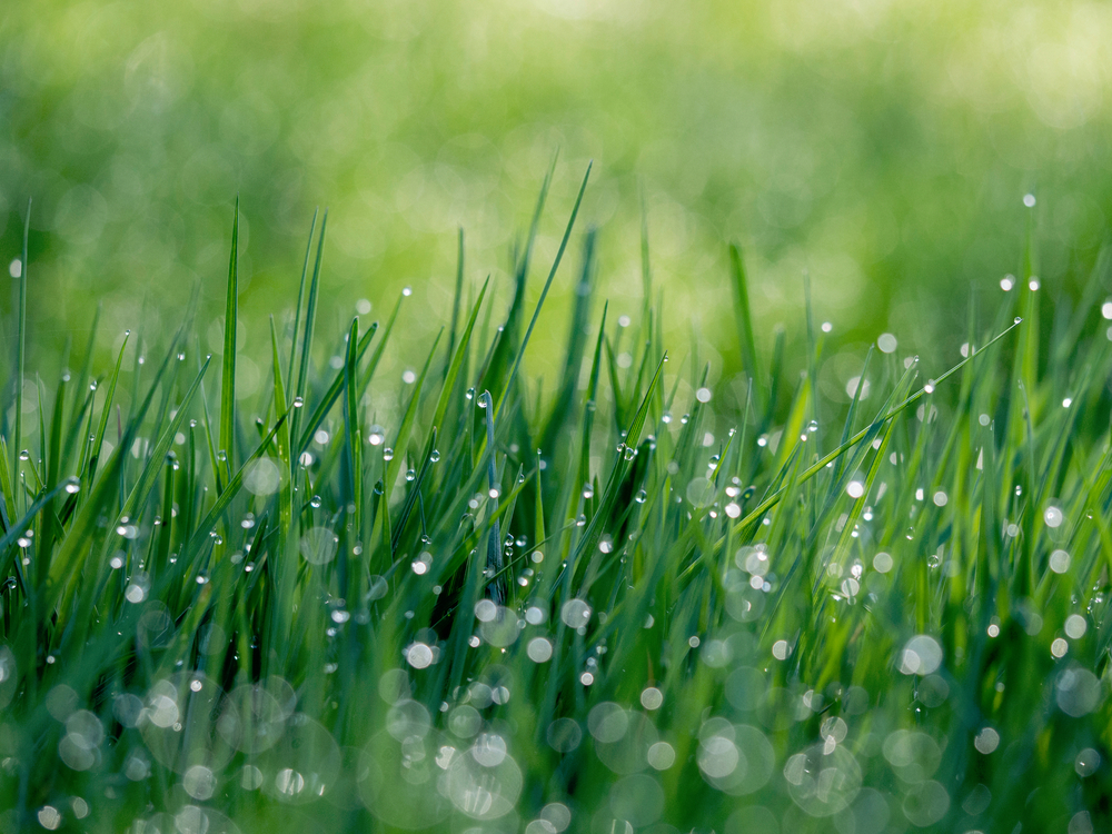 Lawn,Grass Family,Close Up