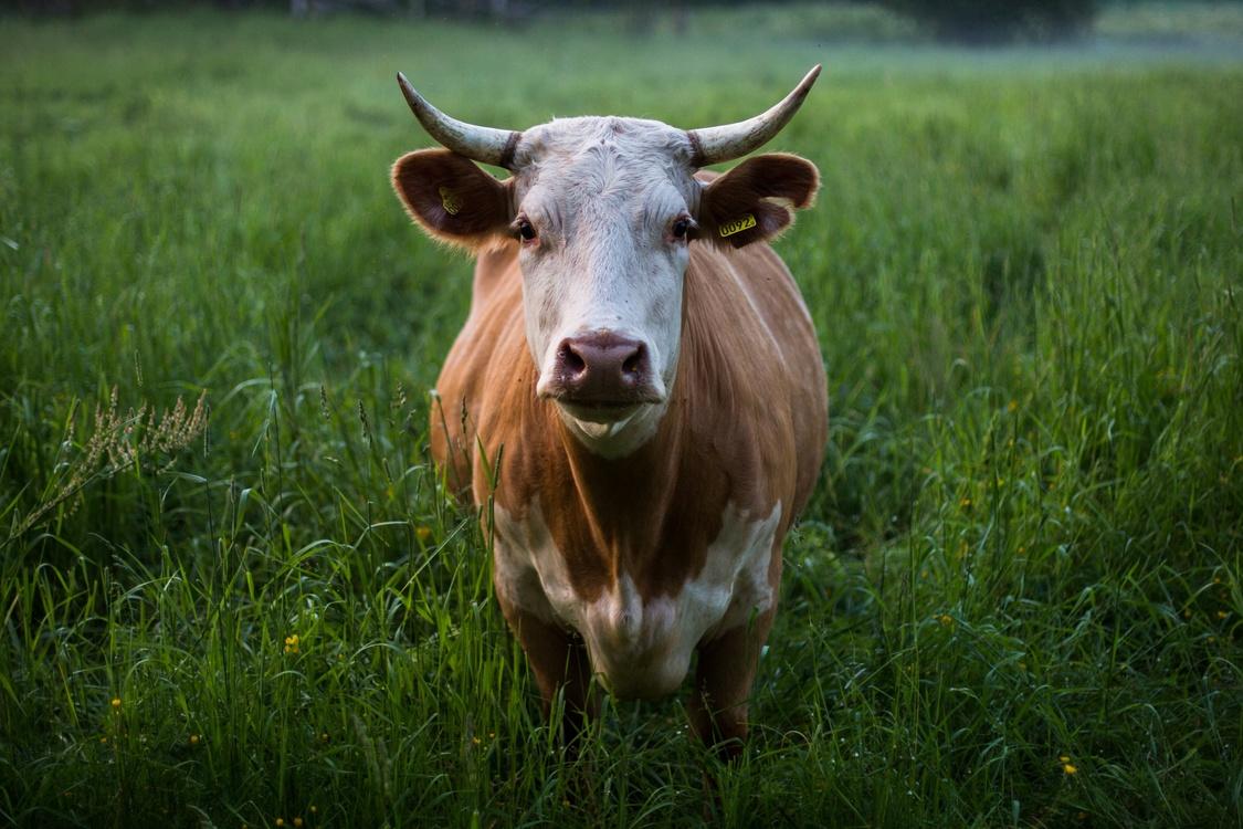 Holstein Friesian Cattle Dairy Cattle Desktop Wallpaper Cattle