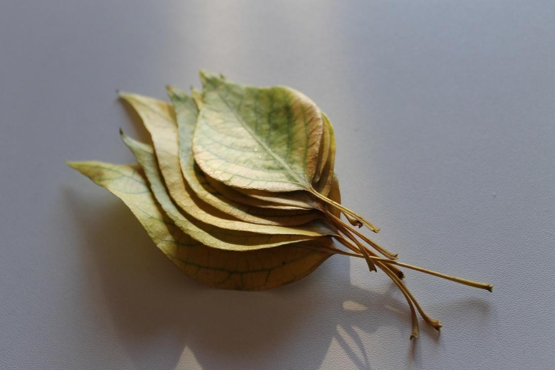 Still Life Photography,Leaf,Our Lady Of Sorrows Parish