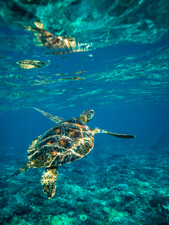 Turtle,Underwater,Marine Biology