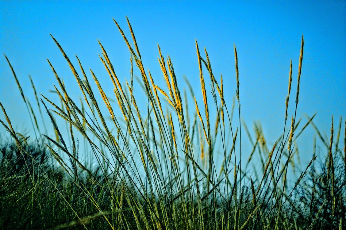 Grass Family,Commodity,Sky