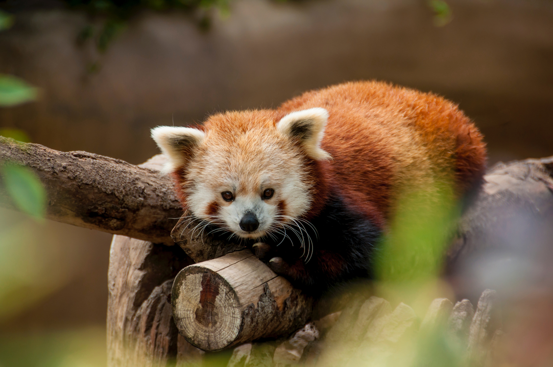 Red Panda,Wildlife,Carnivoran