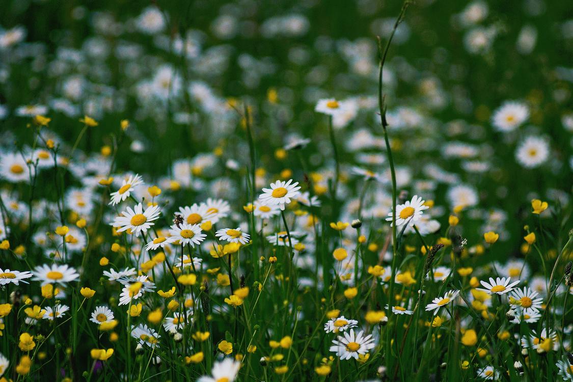 Plant,Flora,Chamaemelum Nobile
