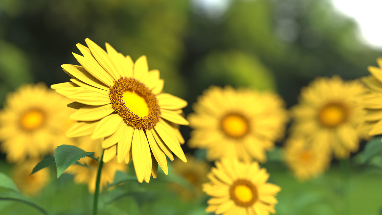 Plant,Flower,Sunflower