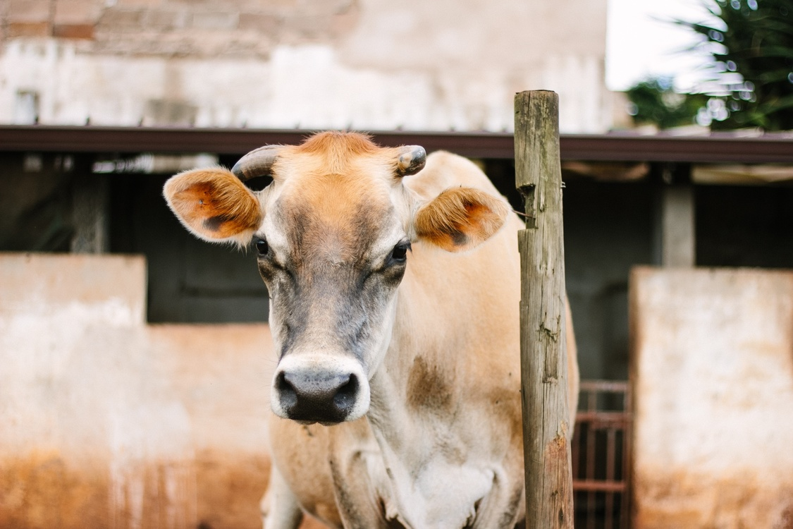 Livestock,Horn,Cow Goat Family