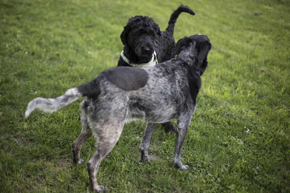 Golden Retriever Puppy Dogo Argentino Pug Dog training CC0
