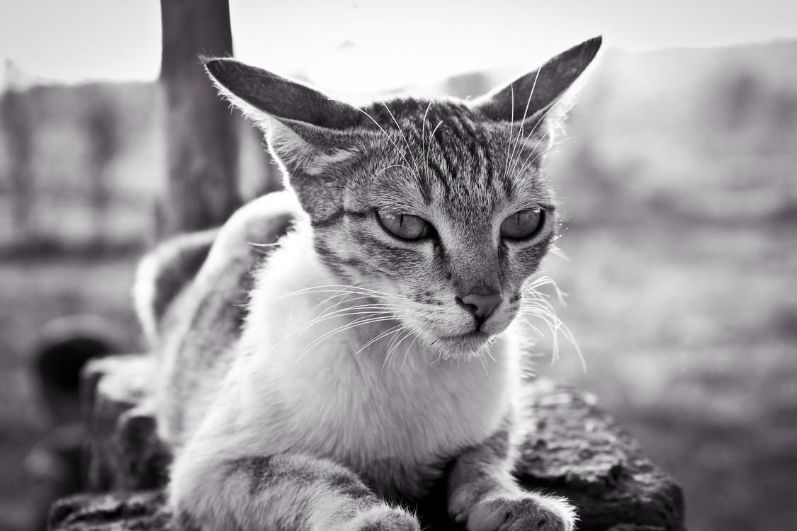 Domestic Short Haired Cat,Wildlife,Fur