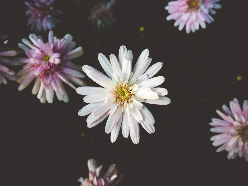 Computer Wallpaper,Chrysanths,Plant