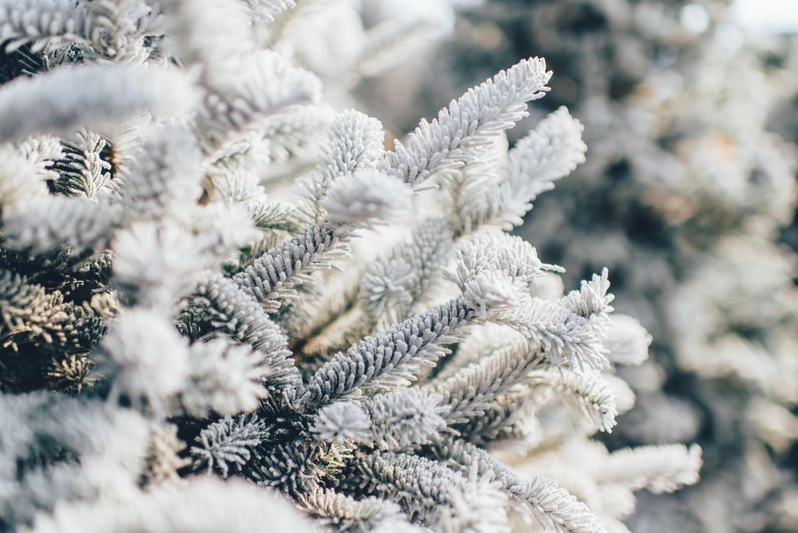 Fir,Pine Family,Evergreen