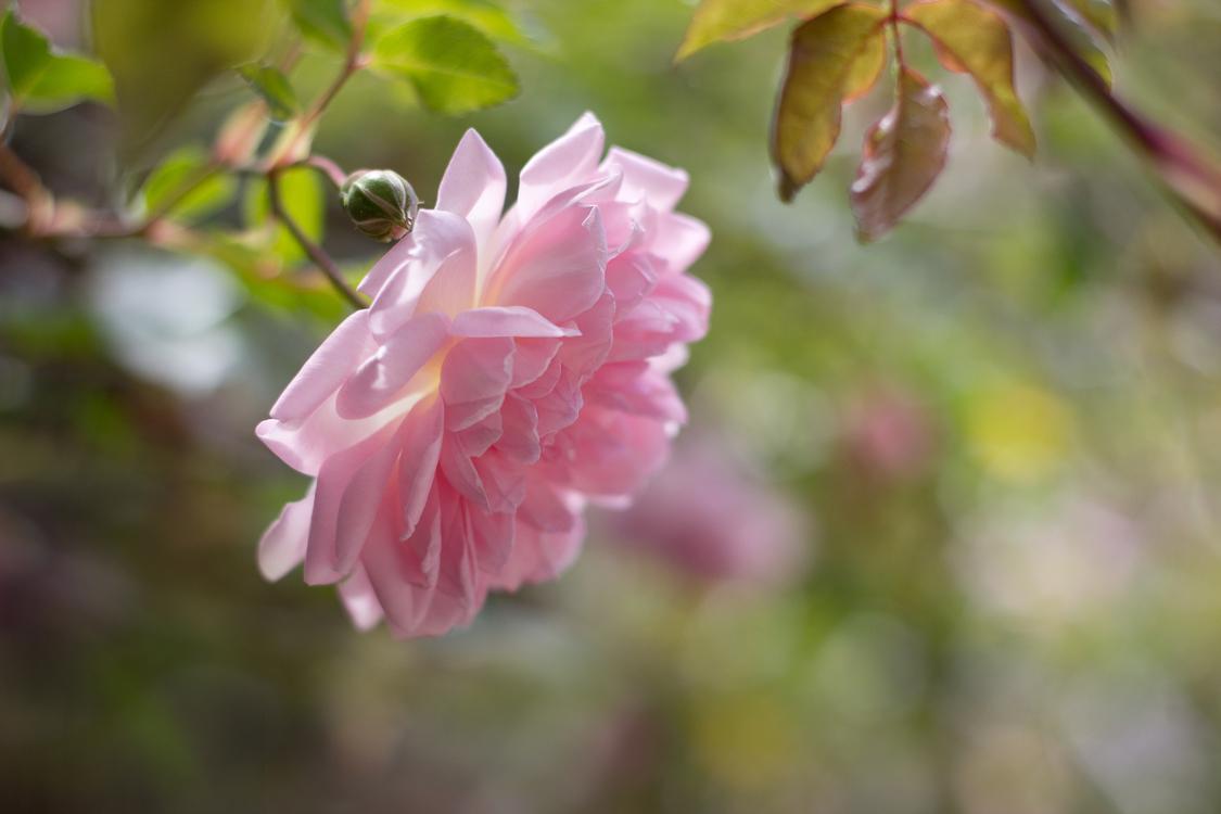 Pink,Plant,Flower Background - Royalty Free Photo / Illustration