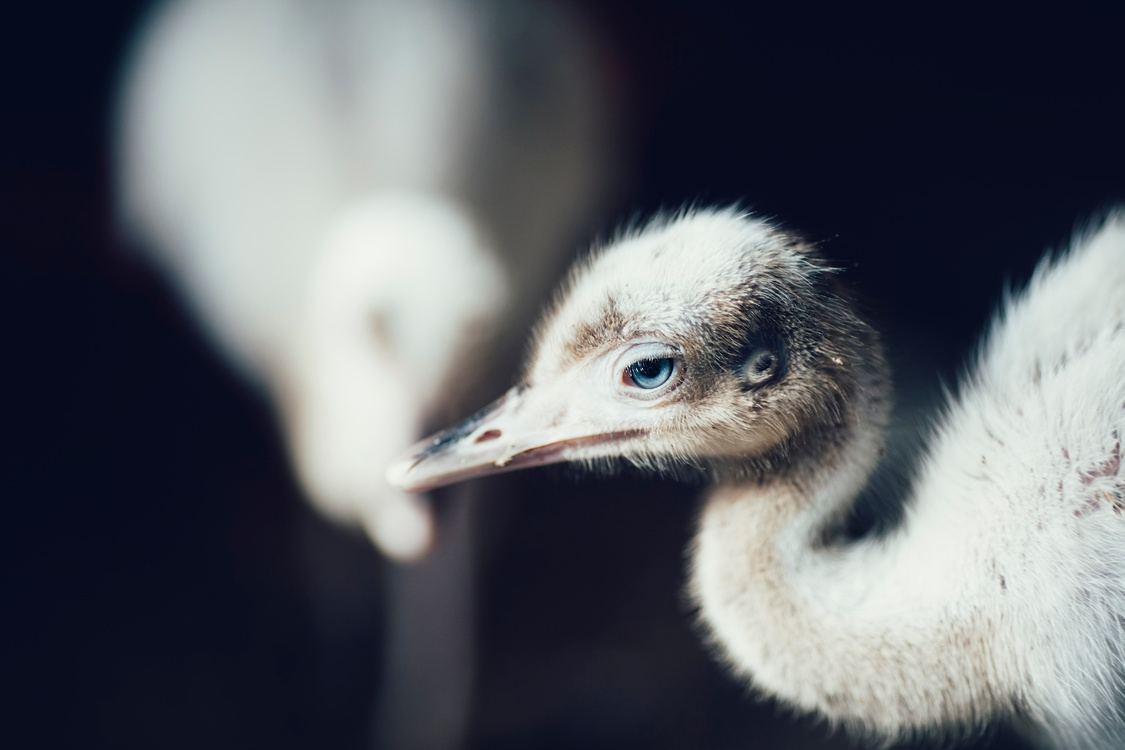 Flightless Bird,Wildlife,Close Up