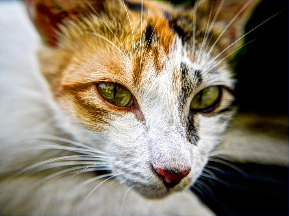 Domestic Short Haired Cat,Wildlife,Close Up