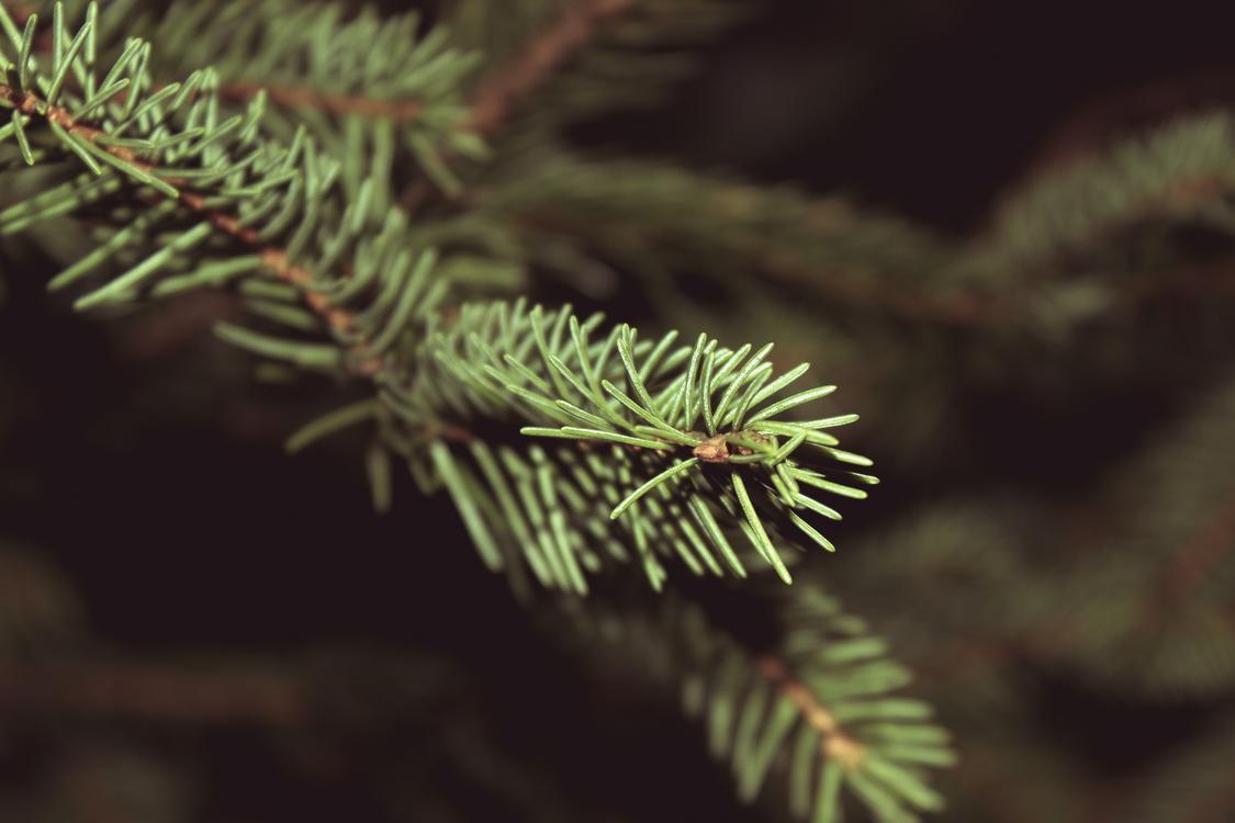 Christmas tree Spruce Pine Christmas tree