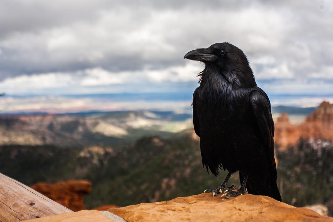 Crow Like Bird,Rook,American Crow