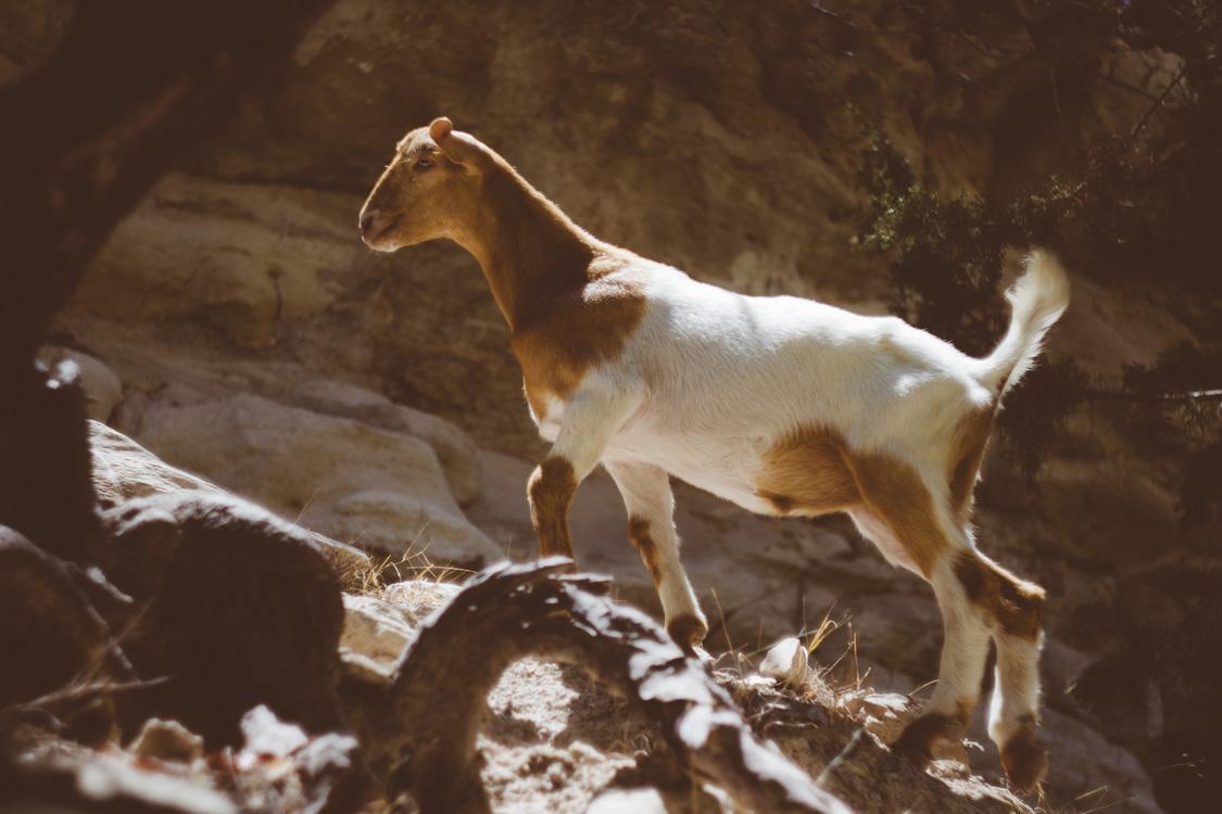 Wildlife,Goat Antelope,Livestock