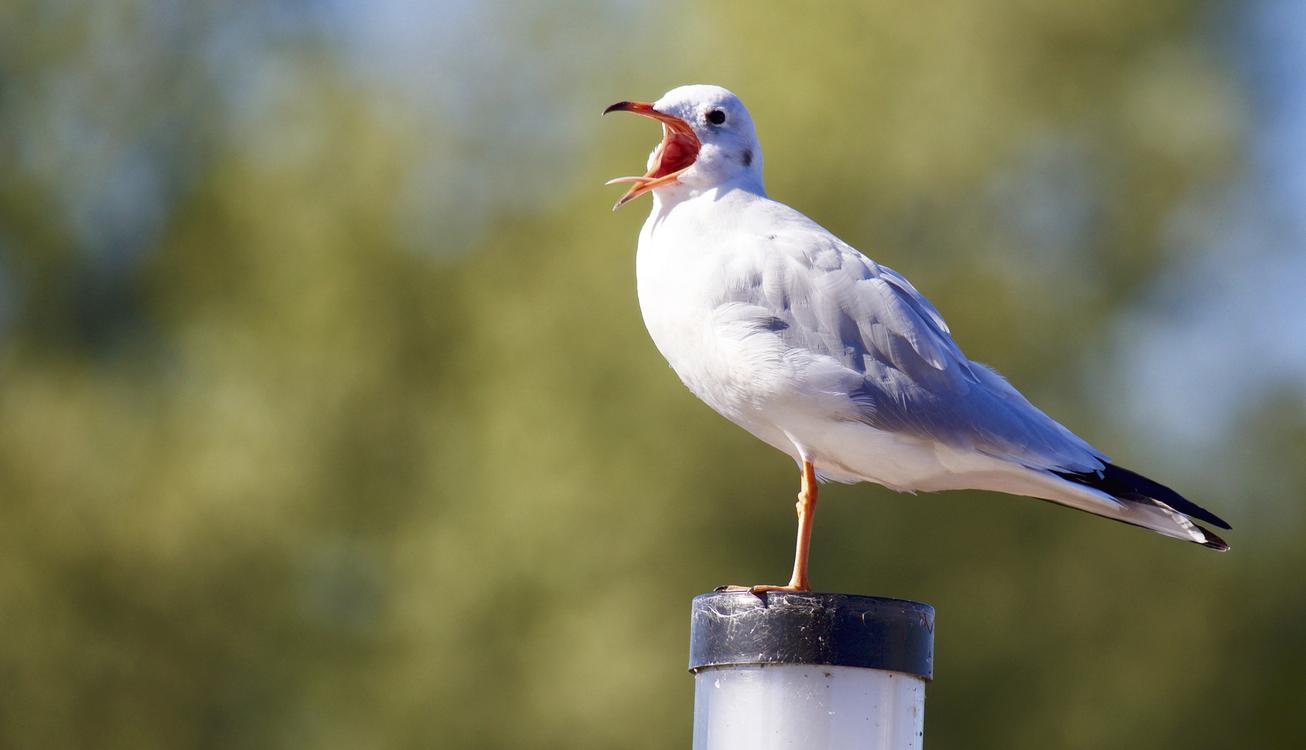 Wildlife,Water Bird,Gull
