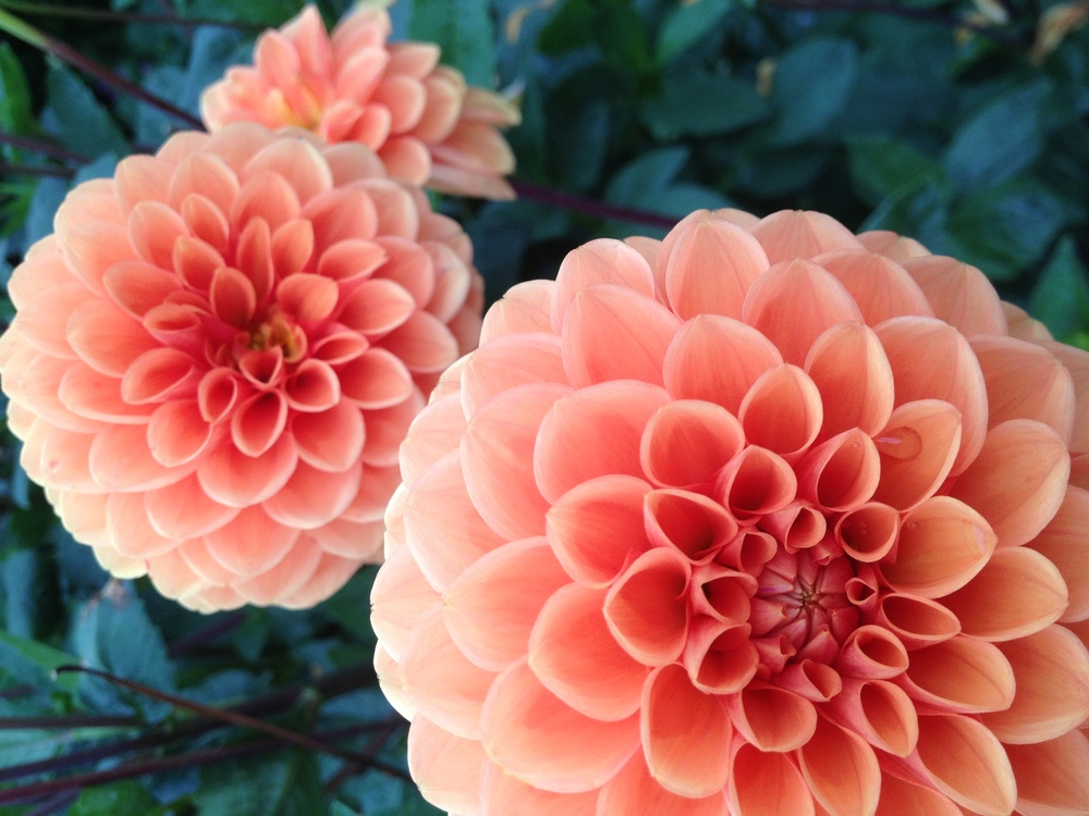 Plant,Flower,Peach