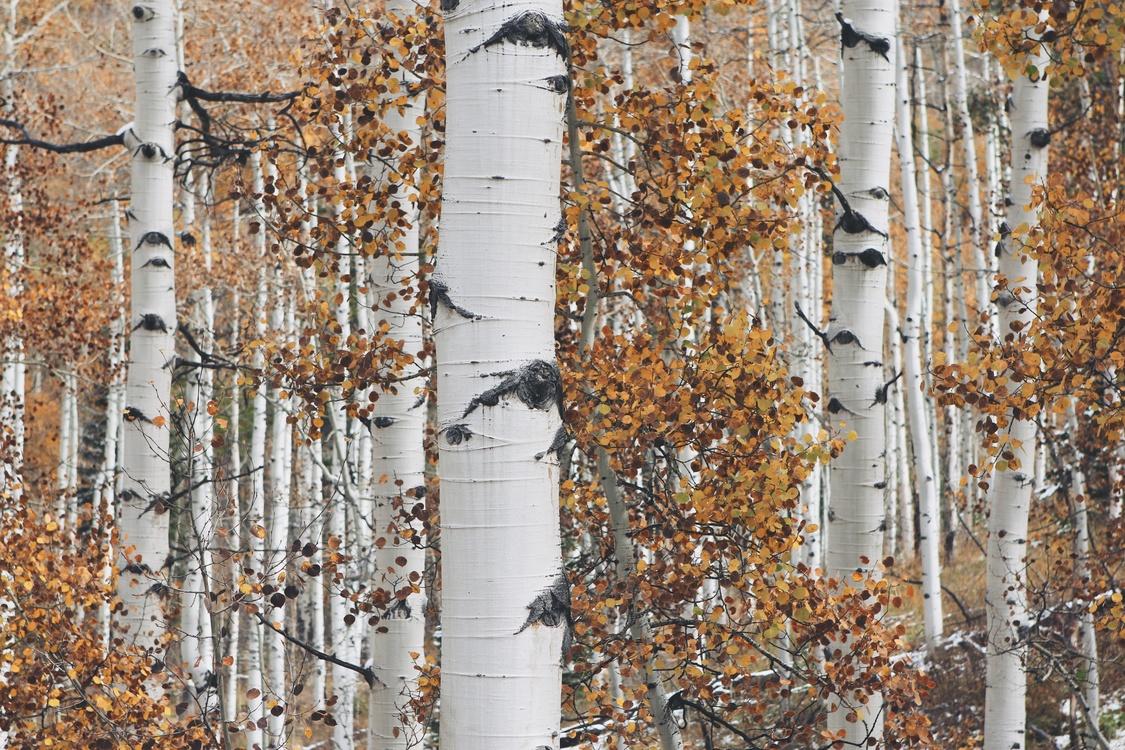 Birch,Tree,Birch Family