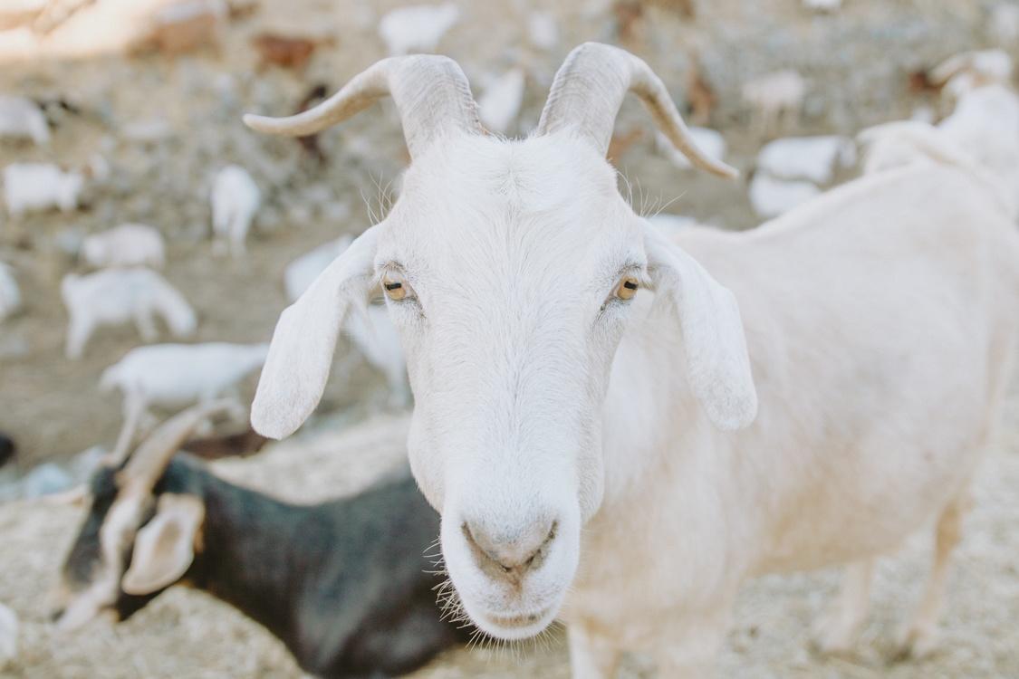 Sheep,Wildlife,Goat Antelope