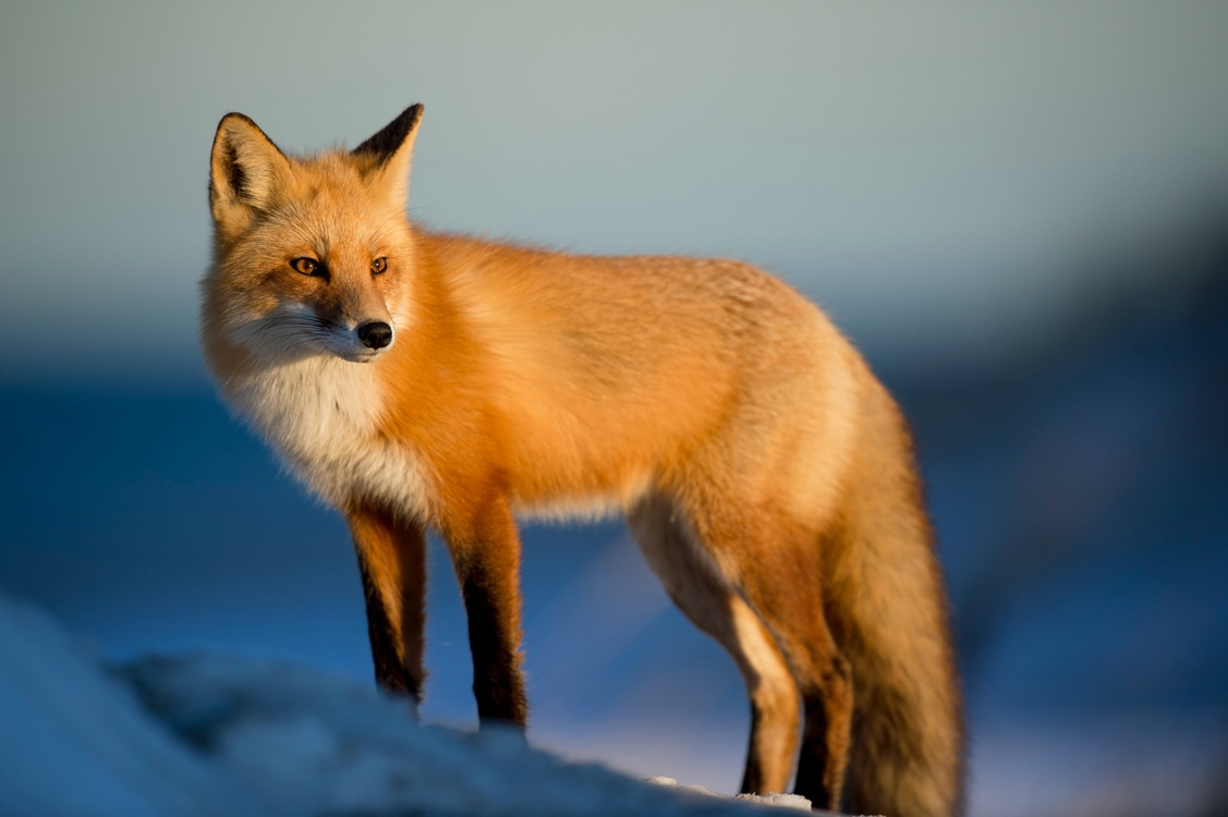 Wildlife,Fur,Kit Fox