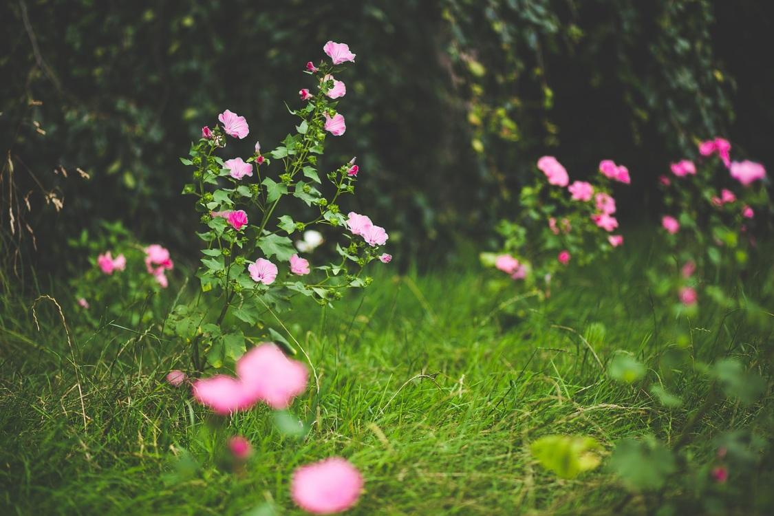 Pink,Lawn,Plant